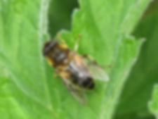 A13 insect Tapered Drone Fly.jpg