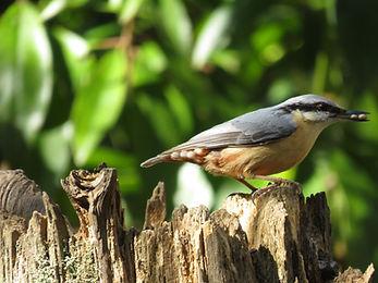 A3 bird Nuthatch.JPG