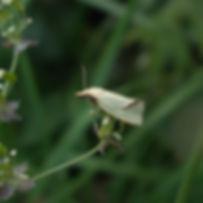 Micromoth Agaapeta hamana.jpg