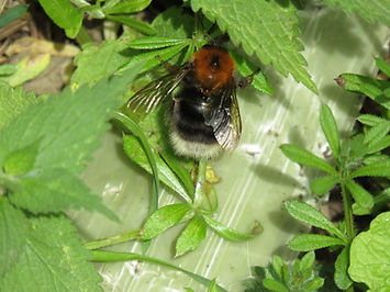 A8 insect Tree Bumblebee.jpg