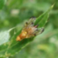 Xyphosia miliaria.jpg