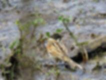 A6 bird Reed Bunting.jpg