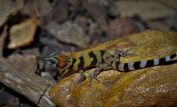 Sphaerodactylus rosaurae - Bay Island en
