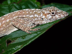 Anolis utilensis - Utila endemic.jpg