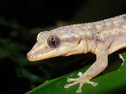 Phyllodactylus palmeus - Bay Island ende