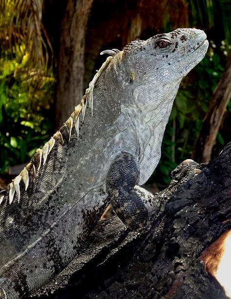 Ctenosaura%20bakeri%20-%20Utila%20endemic_edited.jpg