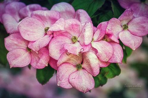 Pink Dogwood Cluster