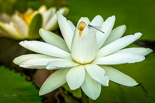 White Water Lily Dragonflies