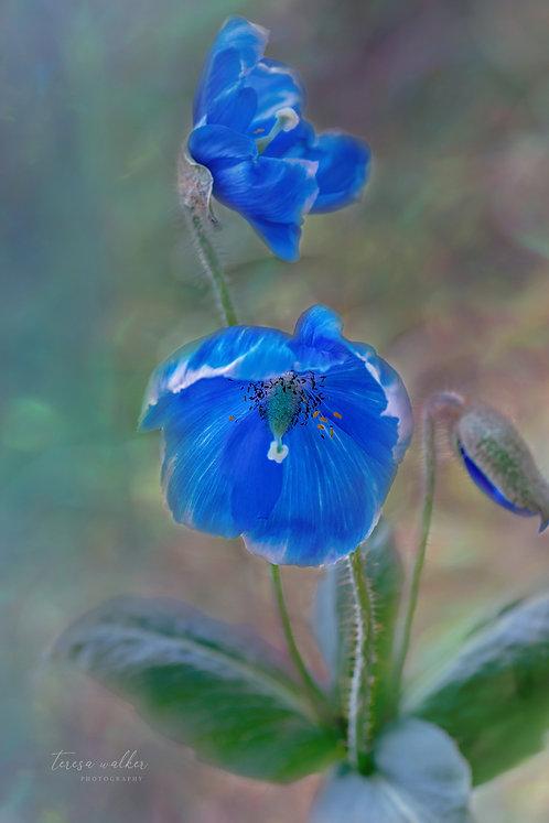 Blue Poppies Bud