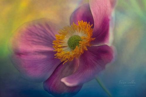 Pink Dancer Anemone