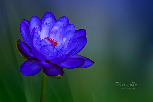 Moody Purple Water Lily