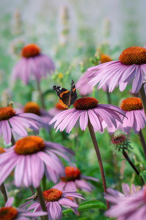 Pink Coneflowers and Butterfly