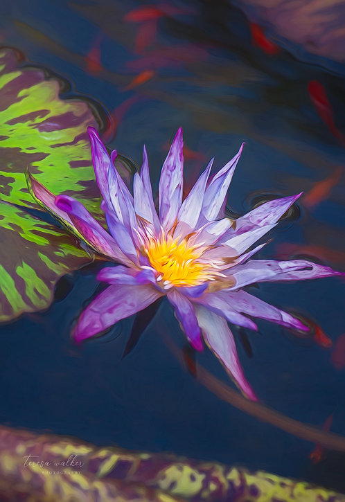 Purple Water Lily Fishies