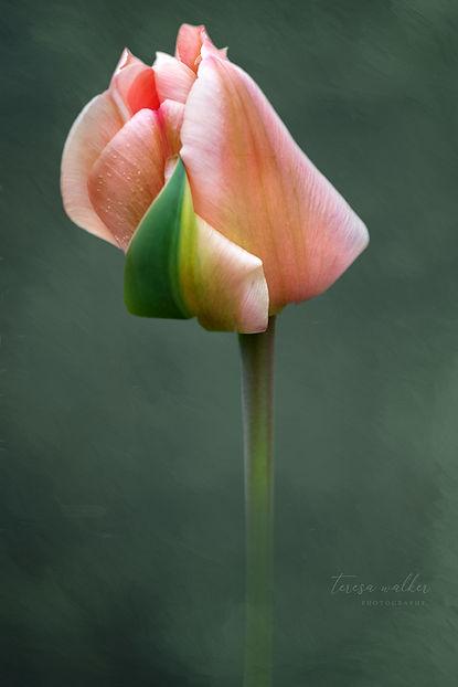 coral tulip2.jpg
