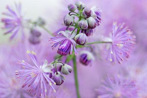 Purple Columbine Meadow Rue