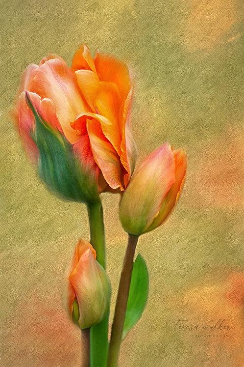 Orange Tulip & Buds