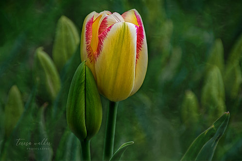 Yellow Red Tulip Buds