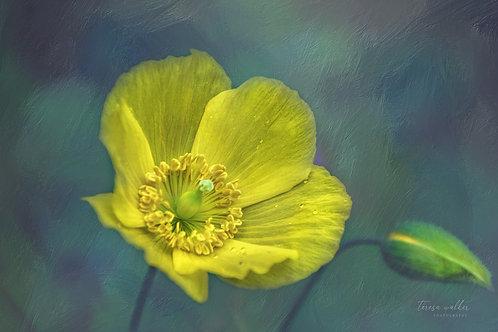 Yellow Poppy Bud