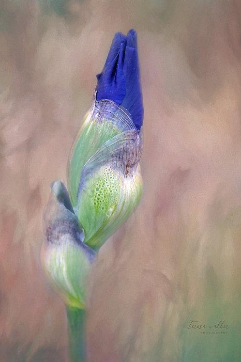 Purple Iris Bud