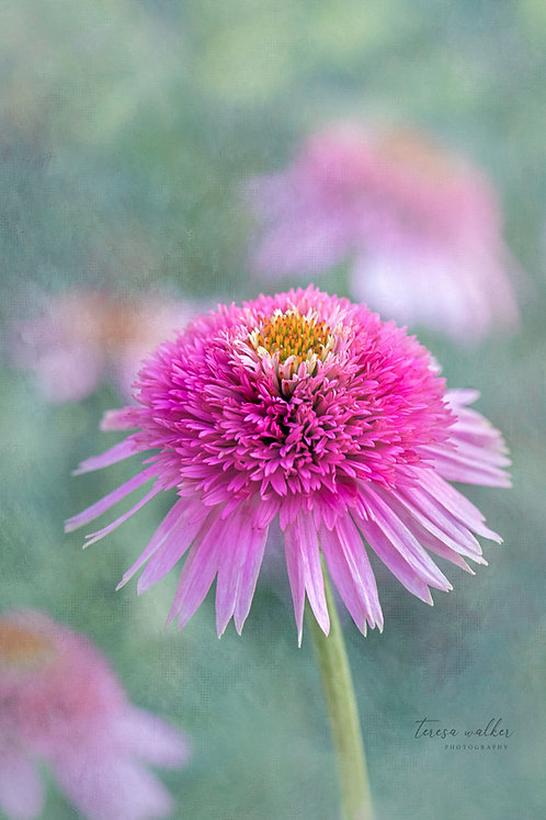 Pink Fuzzy Coneflower