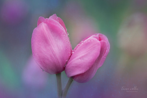 Pink Kissing Tulips