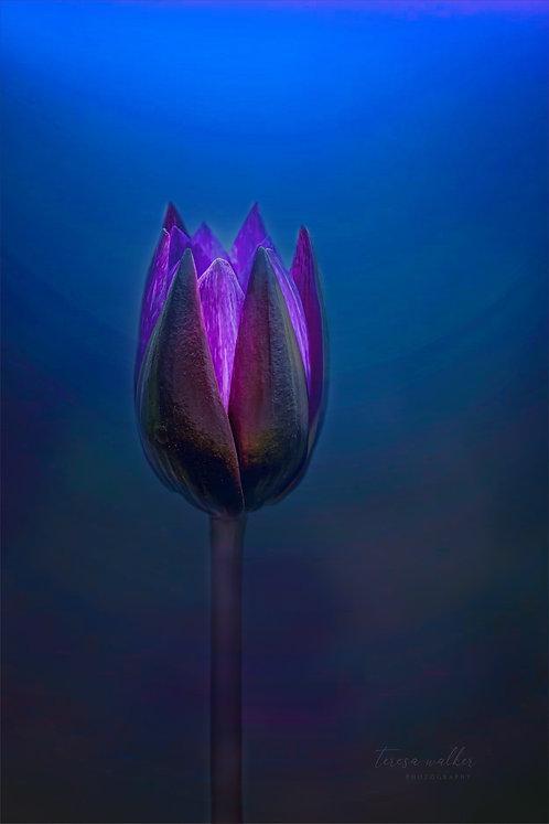 Purple Glow Water Lily
