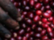 Purple_pacamara_berries_1920x600.jpg