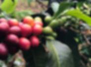 Kenya_berries.jpg