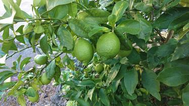無農薬家庭菜園のレモンが色づいてきました