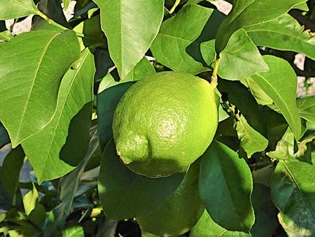 無農薬家庭菜園のレモン