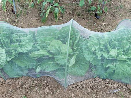 無農薬家庭菜園の野菜が順調に育ってくれています