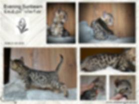 eladó bengáli cica, bengáli macska tenyészet, tenyésztő, bengáli macska, bengáli cica, bengalcat, bengalkatze