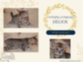Eladó bengáli cica