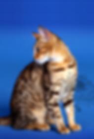 bengáli macska, bengáli cica, bengalcat, bengalkatze