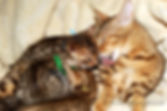 Bengáli macska, bengalcat, bengalkatze, kitten