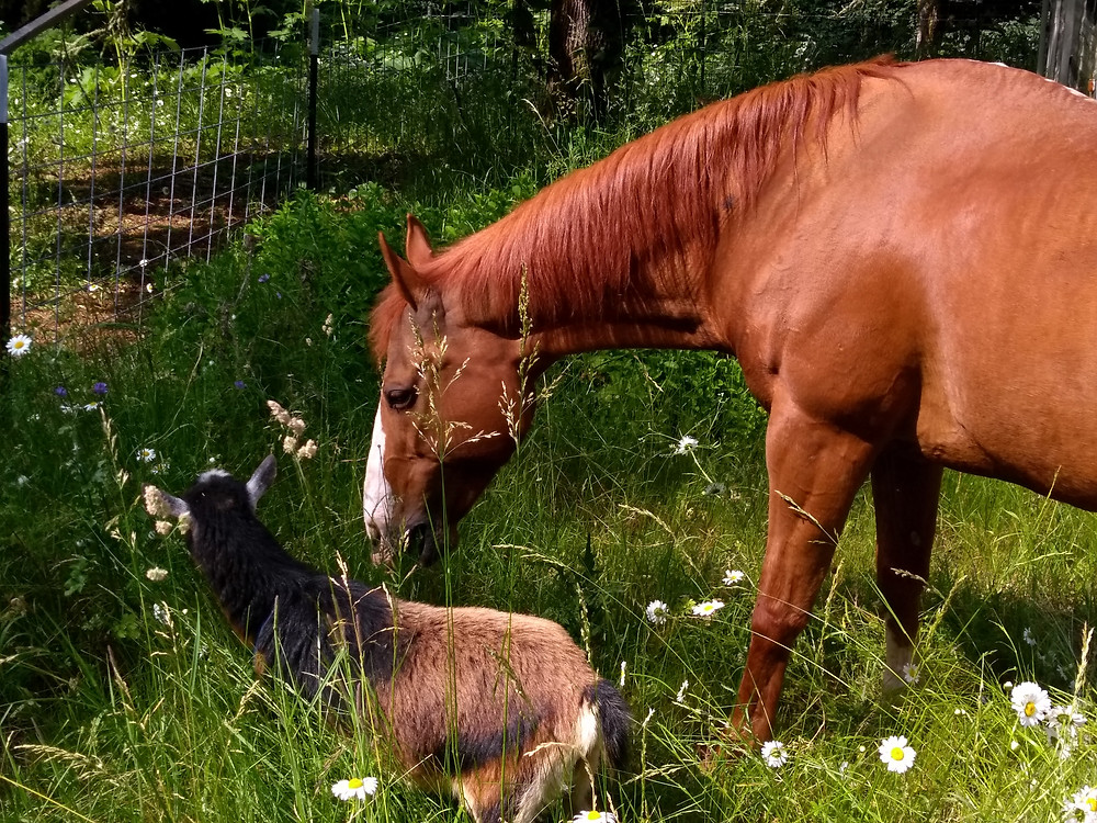 Horse and goat grazing