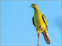 Ceylon Green-pigeon