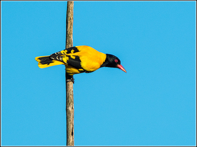 Black-hooded Oriole