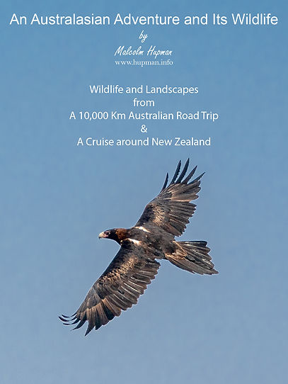 Wedge-tailed Eagle poster.jpg