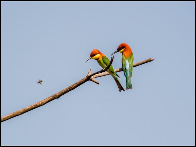 Chestnut-Headed Bee-eaters