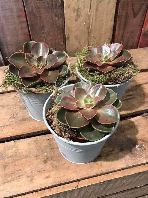Succulent in Zinc Pot