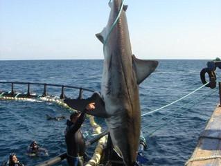 Мифы и легенды Мальты: большая белая акула Cредиземноморья