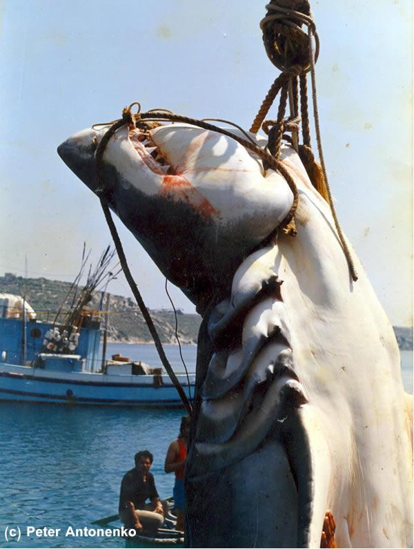 Malta Great white shark