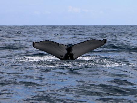 Observação de Cetáceos - Mares do Pico