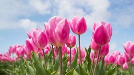 Pigra lenta primavera