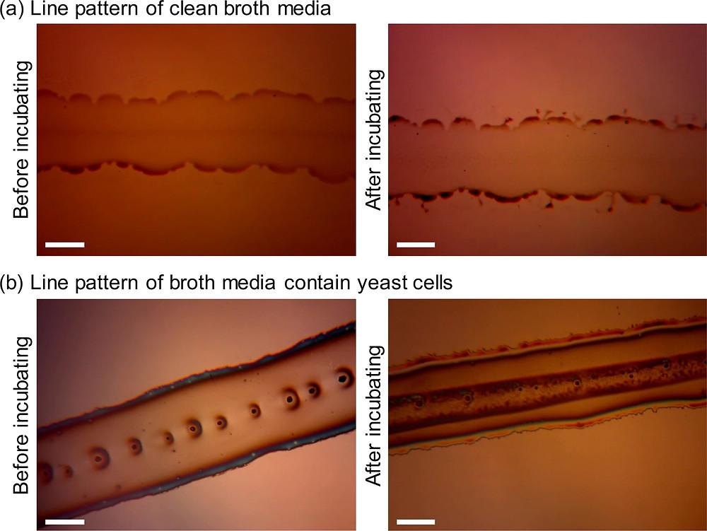 ブロス培地と培地を含む酵母細胞(Saccharomyces cerevisiae)のエレクトロスプレーラインパターン。(a)酵母細胞を含まないブロス培地のラインパターン。(b)酵母細胞含有培地のラインパターン。インキュベーションは、堆積プロセス後24時間、25℃で実施しました。スケールバーは100μm。(Scientific Report HPより)