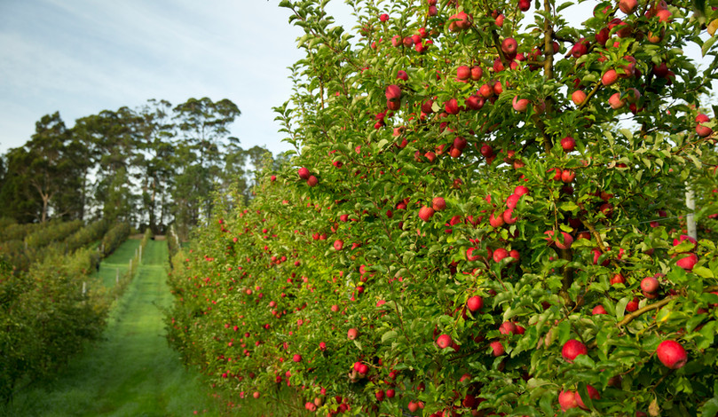 Genuinely Extraordinary - Apple Orchard
