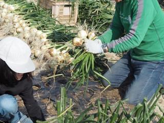 人の手で収穫