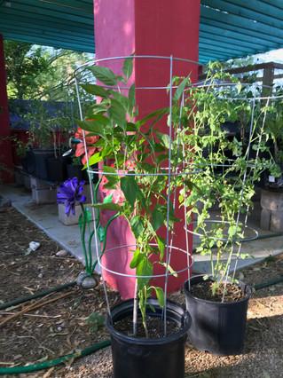 Mature Chile and Tomato 2019 Buena Luna.