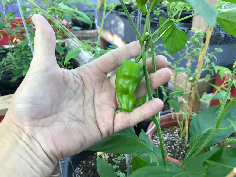 padron chile mature on plant 2019 Buena